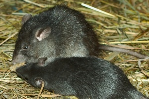 Exemple de rat noir