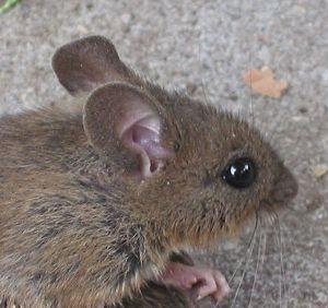 Exemple de souris