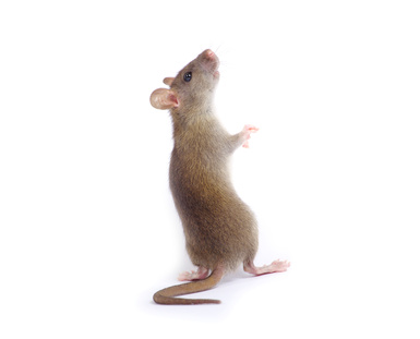 Les ultrasons, arme fatale contre les rats
