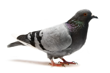 Les pigeons dans la ligne de mire de r le blog des r pulsifs anti rongeurs et anti - Faire fuir les pigeons ...