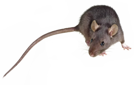 Fressin : les rats musqués menacent les berges de la Planquette